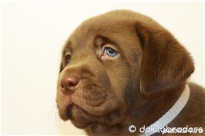 Puiuți deosebiți Labrador maro ciocolatiu din părinți cu pedigree - imagine 2