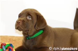 Puiuți deosebiți Labrador maro ciocolatiu din părinți cu pedigree - imagine 1