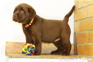 Puiuți deosebiți Labrador maro ciocolatiu din părinți cu pedigree - imagine 4