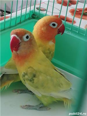 Pereche papagali agapornisi  - imagine 2