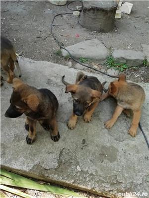 Câine ciobănesc belgian melinois /ciobănesc german  - imagine 6