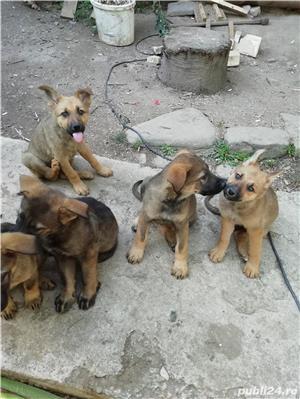 Câine ciobănesc belgian melinois /ciobănesc german  - imagine 8