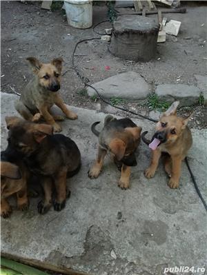 Câine ciobănesc belgian melinois /ciobănesc german  - imagine 7