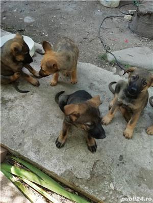 Câine ciobănesc belgian melinois /ciobănesc german  - imagine 5