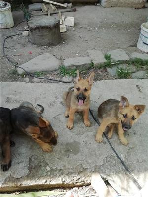 Câine ciobănesc belgian melinois /ciobănesc german  - imagine 11