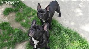 Bulldog Francez tanar - imagine 5