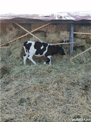 Vand 2 vaci Holstein si una Schwyz. - imagine 4