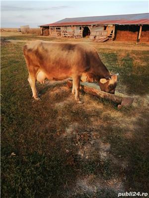 Vand 2 vaci Holstein si una Schwyz. - imagine 7