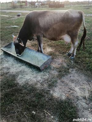 Vand 2 vaci Holstein si una Schwyz. - imagine 5