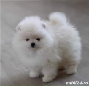 Pomeranian boo Albii teacup - imagine 2