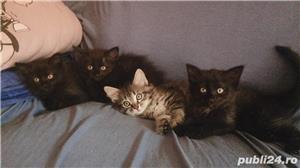 Pisicuțe de vânzare  - imagine 2