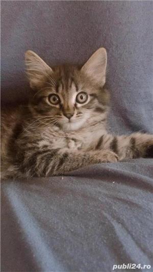 Pisicuțe de vânzare  - imagine 1