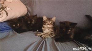 Pisicuțe de vânzare  - imagine 3