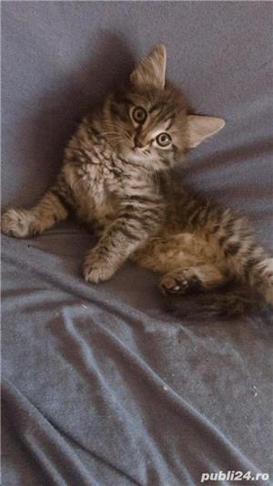 Pisicuțe de vânzare  - imagine 4