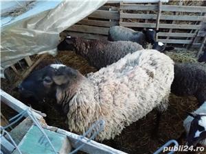 Vând oi romanov - imagine 1