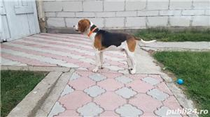 Mascul beagle monta - imagine 2