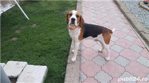 Mascul beagle monta - imagine 1
