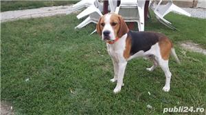 Mascul beagle monta - imagine 3