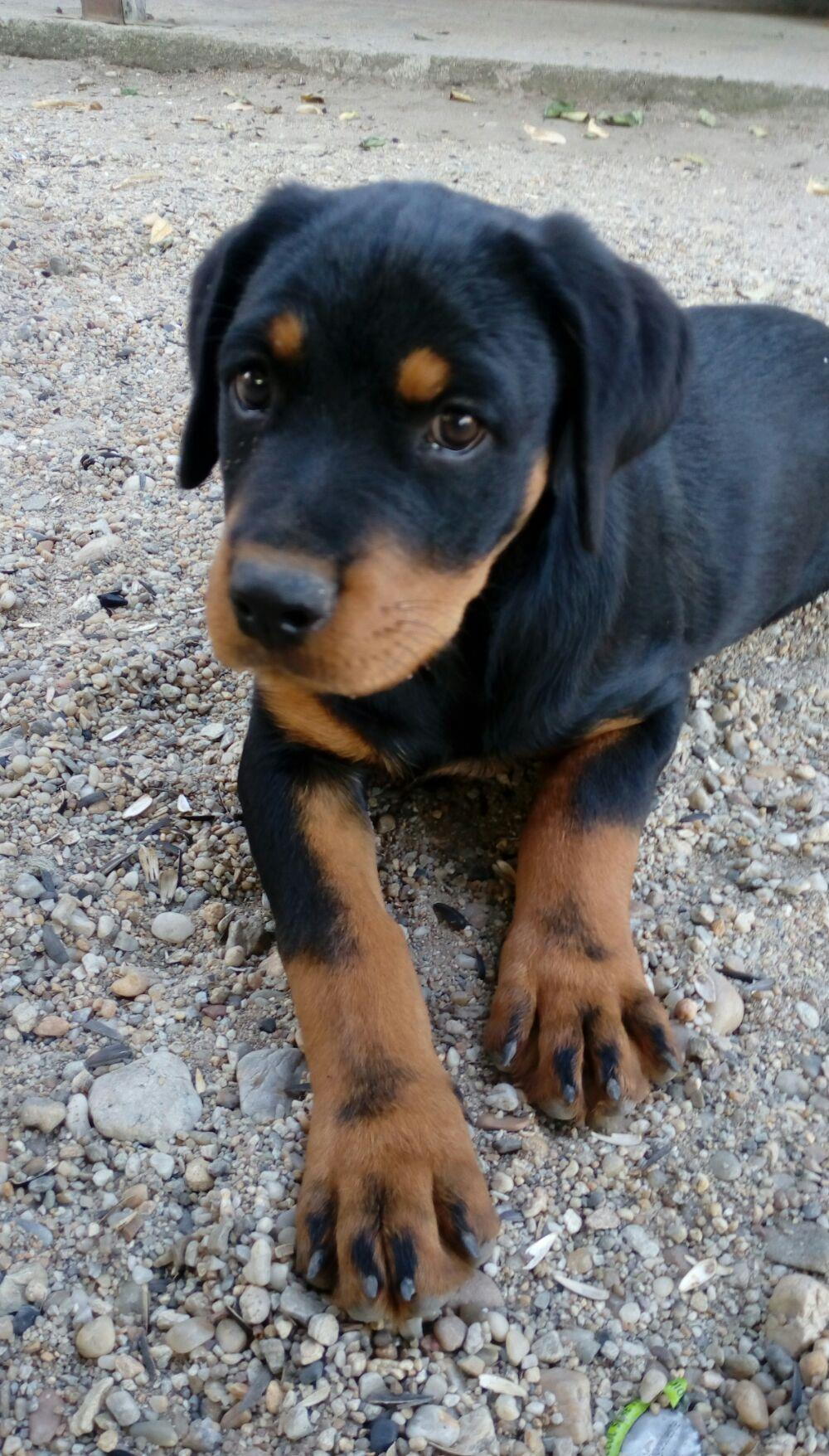 Catei rottweiler - imagine 6