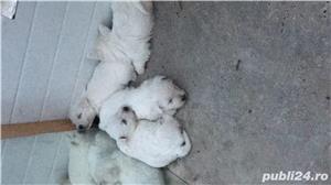 Catei Westie (White Terrier) - imagine 2