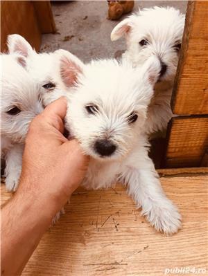 Catei Westie (White Terrier) - imagine 3