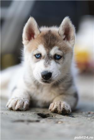 Husky Siberian catei de vanzare - imagine 2