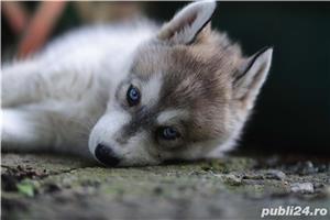 Husky Siberian catei de vanzare - imagine 5