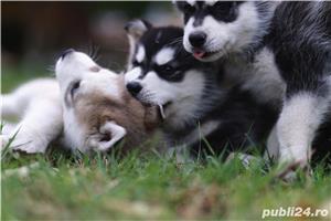 Husky Siberian catei de vanzare - imagine 6