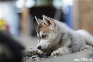 Husky Siberian catei de vanzare - imagine 1