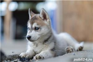 Husky Siberian catei de vanzare - imagine 3