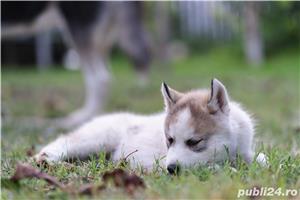 Husky Siberian catei de vanzare - imagine 4