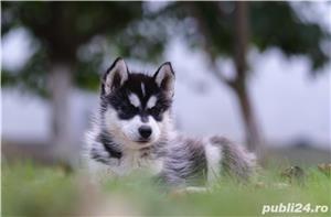 Husky Siberian catei de vanzare - imagine 8