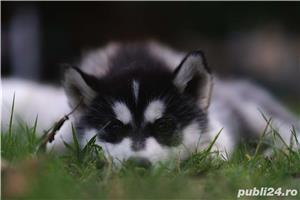 Husky Siberian catei de vanzare - imagine 7