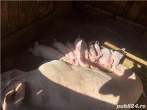 Porci . Rasa de carne  - imagine 3