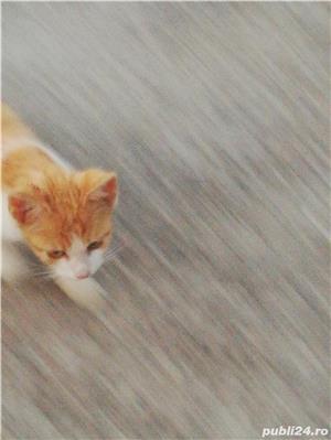 Donez doua pisicuțe  - imagine 1