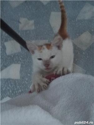 Donez doua pisicuțe  - imagine 2