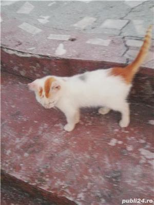 Donez doua pisicuțe  - imagine 5
