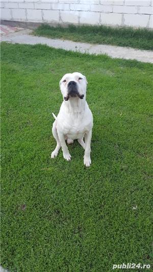 Dog Argentinian pt monta - imagine 2
