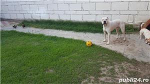 Dog Argentinian pt monta - imagine 1