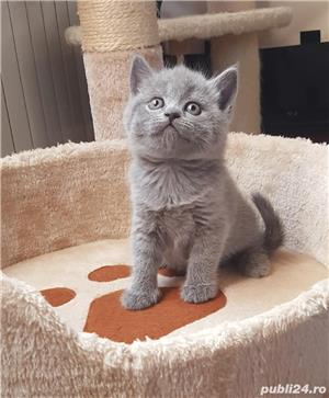 British shorthair blue - imagine 1