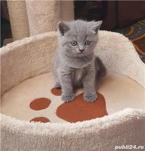 British shorthair blue - imagine 7