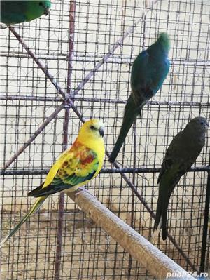 Vind papagali - imagine 5