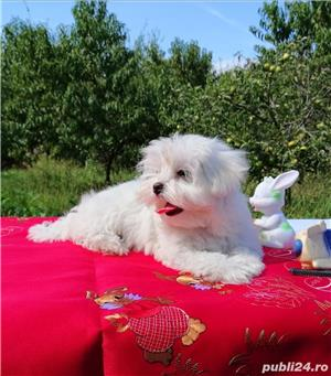 bichon maltez - imagine 2