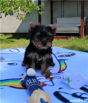 yorkshire terrier cu pedigree tip A - imagine 2
