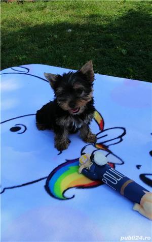 yorkshire terrier cu pedigree tip A - imagine 3