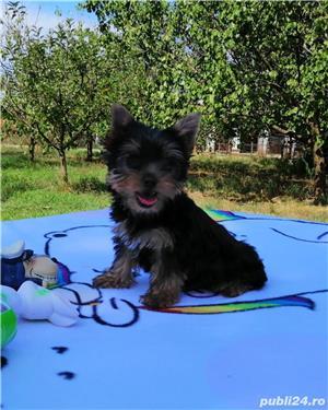yorkshire terrier cu pedigree tip A - imagine 4