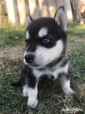 Cățeluși Husky - imagine 2