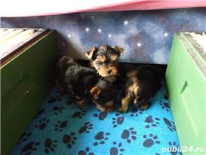 De vanzare yorki/yorkie/yorkshire terrier - imagine 2