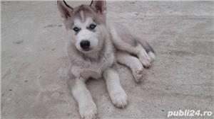 Pui de husky hasky siberian de vanzare diverse nuante!! - imagine 7