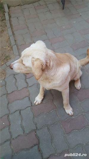 Labrador vand sau schimb - imagine 2